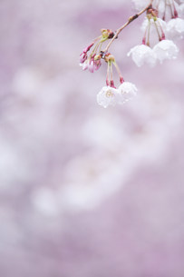 雨に濡れた桜の写真素材 [FYI01517415]