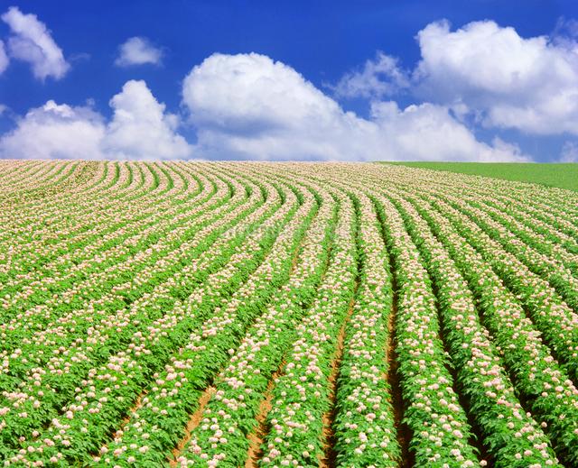 ジャガイモ畑と十勝連峰の写真素材 [FYI01517425]
