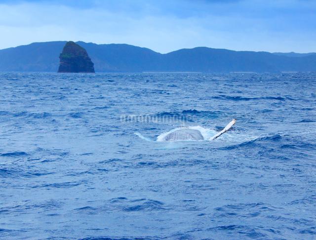 ザトウクジラの背泳ぎと男岩の写真素材 [FYI01517448]