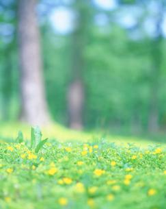 キンロバイとカラマツ林の写真素材 [FYI01517454]