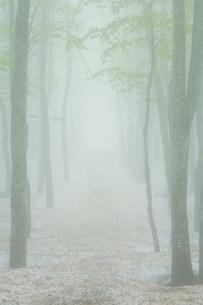 朝霧のブナ林の写真素材 [FYI01517469]