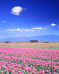 チューリップ畑と五頭連峰の写真素材 [FYI01517696]