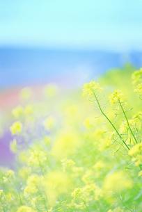 菜の花の写真素材 [FYI01517707]