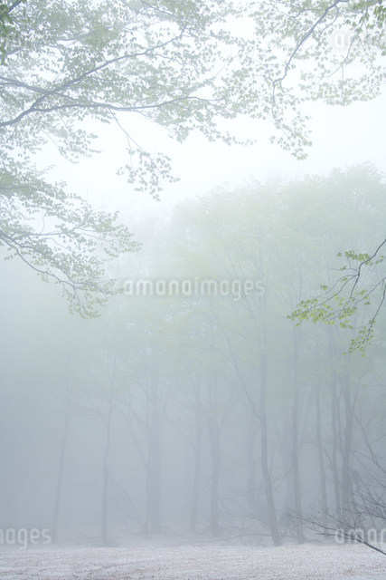 朝霧のブナ林の写真素材 [FYI01517799]