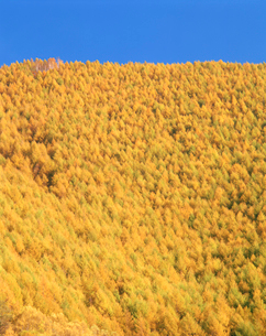秋のカラマツの里山の写真素材 [FYI01517901]