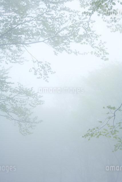 朝霧のブナ林の写真素材 [FYI01517950]