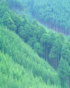 杉林の写真素材 [FYI01517971]