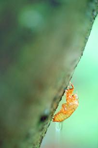 エゾハルゼミの脱け殻と雨滴の写真素材 [FYI01517973]