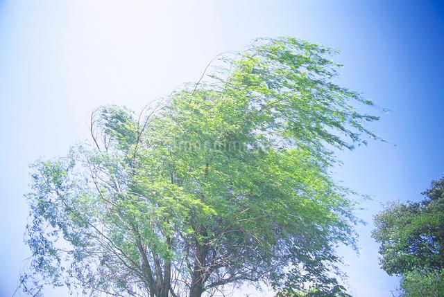シダレヤナギと風の写真素材 [FYI01518018]
