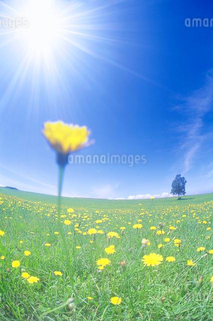 タンポポと白樺木立の写真素材 [FYI01518100]