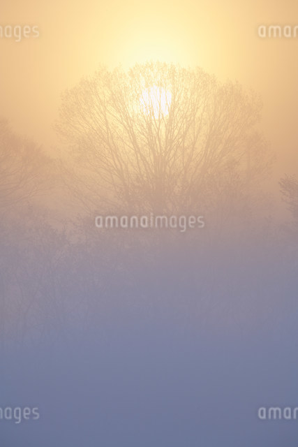 朝霧のブナ林の写真素材 [FYI01518153]