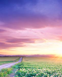 朝のジャガイモ畑と道の写真素材 [FYI01518192]