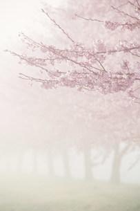 桜並木と朝霧の写真素材 [FYI01518243]