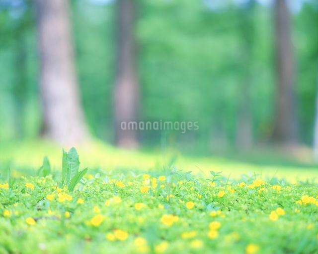 キンロバイとカラマツ林の写真素材 [FYI01518262]