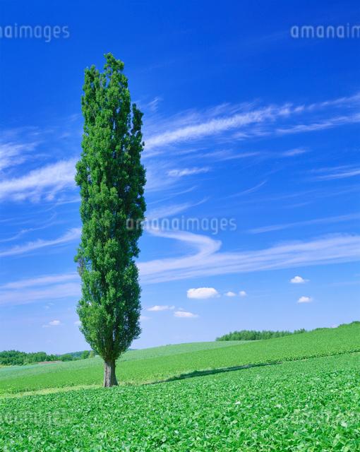 ポプラと小豆畑の写真素材 [FYI01518267]