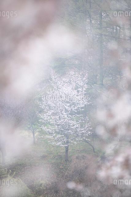 桜の写真素材 [FYI01518278]