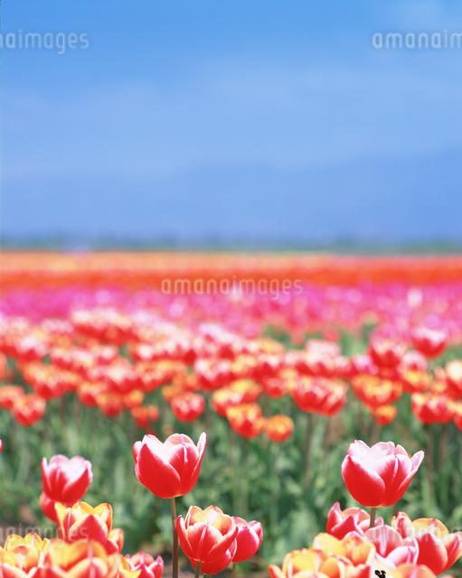 チューリップ畑の写真素材 [FYI01518295]