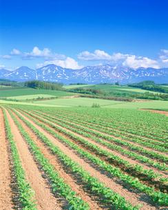 アズキ畑と十勝連峰の写真素材 [FYI01518314]