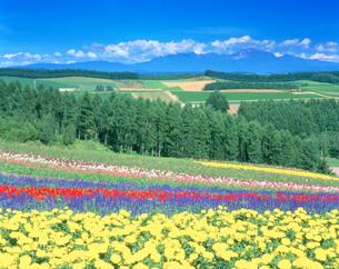 マリーゴールドなどの花畑と大雪山の写真素材 [FYI01518330]