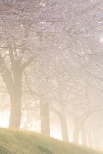 桜並木と朝霧の写真素材 [FYI01518526]