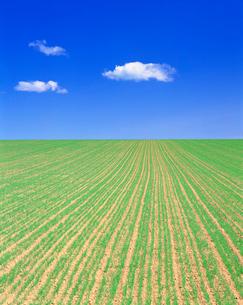小麦畑の写真素材 [FYI01518541]