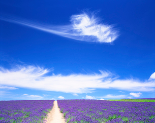 ラベンダー畑と道の写真素材 [FYI01518549]
