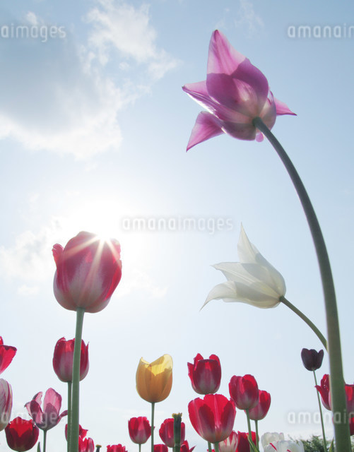 チューリップと太陽の写真素材 [FYI01518660]