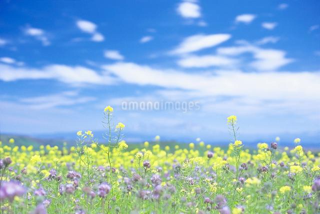 菜の花の写真素材 [FYI01518682]