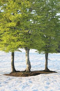 残雪とブナ木立の写真素材 [FYI01518730]