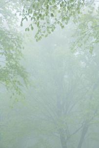 朝霧のブナ林の写真素材 [FYI01518731]