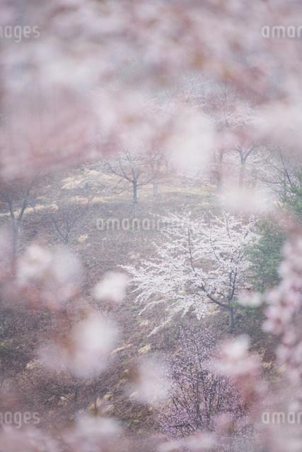 桜林の写真素材 [FYI01518763]