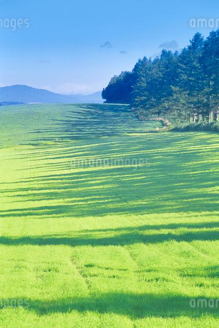 牧草地とカラマツ林の写真素材 [FYI01518830]