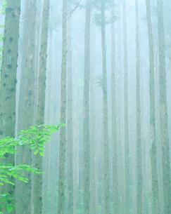 杉林と朝霧の写真素材 [FYI01518874]