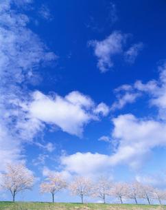 桜並木ソメイヨシノの写真素材 [FYI01518986]