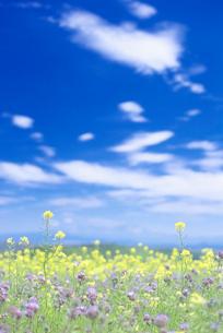 菜の花の写真素材 [FYI01519138]