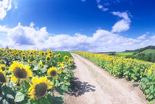ヒマワリ畑と道の写真素材 [FYI01519164]