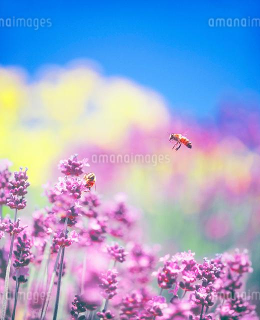 ラベンダーとミツバチの写真素材 [FYI01519190]