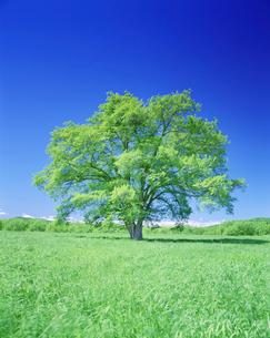 はるにれの木と牧草地の写真素材 [FYI01519273]