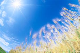 小麦と風の写真素材 [FYI01519304]