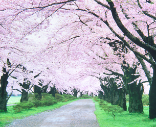 桜並木道の写真素材 [FYI01519395]