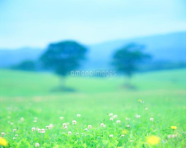 シロツメクサ咲く牧草地と木立の写真素材 [FYI01519428]