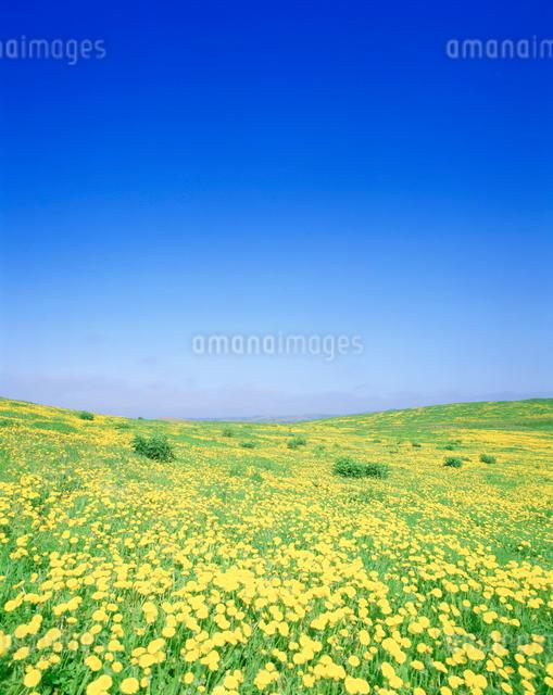 タンポポ咲く牧草の写真素材 [FYI01519485]