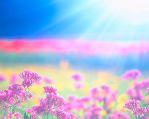 小町草と光の写真素材 [FYI01519517]