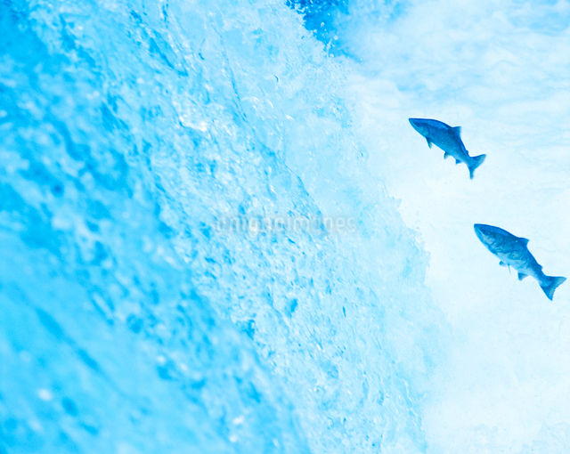 さくらの滝とカワマスの写真素材 [FYI01519589]