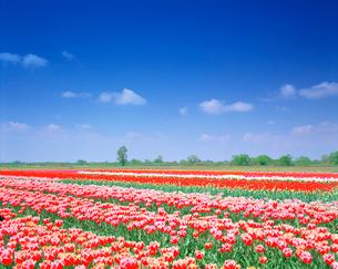 チューリップ畑の写真素材 [FYI01519882]