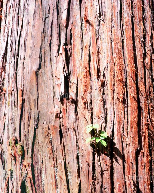 桃洞杉の幹の写真素材 [FYI01519944]