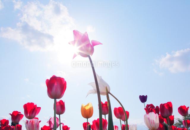チューリップと太陽の写真素材 [FYI01520011]