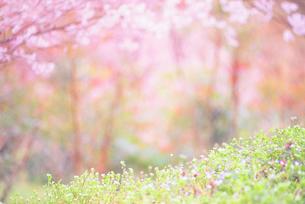 ナズナなど春の野花の写真素材 [FYI01520152]