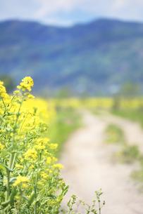 菜の花畑と道路の写真素材 [FYI01520220]