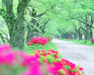 ツツジ咲く並木道と道の写真素材 [FYI01520240]